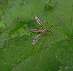 Crane (Bricheno) Tags: bug insect scotland leaf escocia szkocja renfrew schottland cranefly scozia cosse  esccia   bricheno scoia