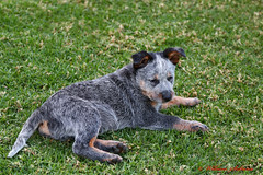 Blue Cattle Dog (wil_sul) Tags: dog grass animal cattle working clay pup lowcontrast blueheeler infocus singleton breeds bluecattle mediumquality 68will