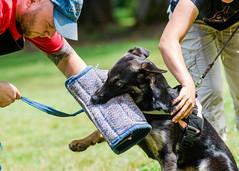 2014-05-11, Gotcha 5 Months-15 (Falon167) Tags: dog puppy puppies iron shepherd mila eros josh german gotcha gsd germanshepherddog