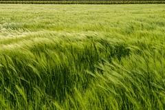 Green Undulations (drugodragodiego) Tags: italy green nature landscape pentax natura lombardia k3 greatphotographers franciacorta provinciadibrescia pentax1650 smcpda1650mmf28edalifsdm pentaxiani pentaxk3
