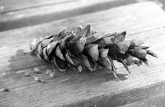 115 av 365 - Kotte (Yvonne L Sweden) Tags: blackandwhite blw cone sweden may kotte holmen 365foton 3652014