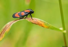 Blutzikade (Cercopis vulnerata) (to.wi) Tags: macro rot insect makro insekt schwarz zikade cercopisvulnerata blutzikade cercopis macrolife towi