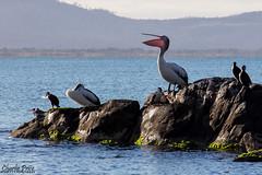 Pelican at Swansea (Echidna Charlie) Tags: beach water rocks pelican swanseatasmania