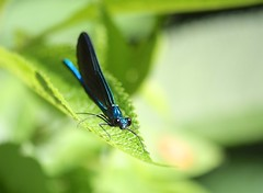 "Ebony Jewelwing • <a style=""font-size:0.8em;"" href=""http://www.flickr.com/photos/92887964@N02/14212124551/"" target=""_blank"">View on Flickr</a>"