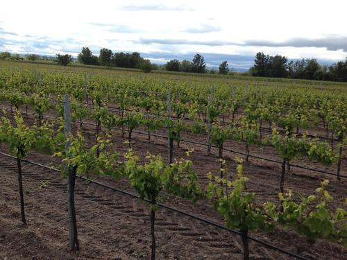 Vineyards Illmitz Austria - 2