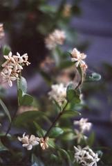 (spitting venom) Tags: flowers plants film nature 35mm vines nikon ivy nikonfm fiolm