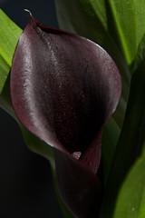 Calla Lily (sr667) Tags: ca flowers toronto ontario canada canon sigma on