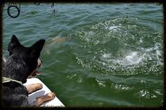 Bowser Redfish fishing! (jalyns76) Tags: ocean blue sea dog water mobile island boat fishing nikon gulf alabama splash dauphin redfish heeler