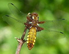 Broad-bodied Chaser (gailhampshire) Tags: chaser libellula depressa broadbodied taxonomy:binomial=libelluladepressa