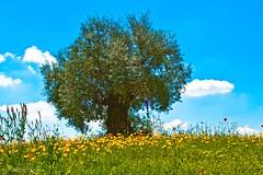 Olivo di Lomazzo (Fabrizio Pisoni) Tags: nuvole blu cielo fiori olivo 2014 gialli aberi