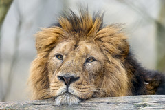 Lion with head on the log