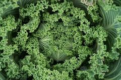 Lettuce (mikemcnary) Tags: plant green outdoors leaf university outdoor lexington kentucky arboretum leafy