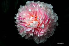 Pink Peony (Bob.W) Tags: ngc peony coth5 sunrays5