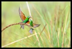 Beauty of The Nature (asifsherazi) Tags: pakistan wild portrait color tree green bird beautiful grass animal image action pics vibrant picture fast tele lahore bluecheekedbeeeater nikon400mmf28 asifsherazi nikond4s asifsherazi2014