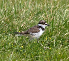 Killdeer fledgling