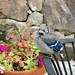Learn to Fly Day for a bluejay chick on back deck, but first--a nap. Photo: Jill McKenty, Saranac Lake, NY