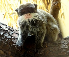 Funny squinting moustache tamarin (Cloudwhisperer67) Tags: light cloud baby france color cute art love nature colors animal pose fun photography zoo amazing nice fantastic funny natural sony great adorable posing moustache leopard amour alsace lovely emperor splendid tamarin mulhouse squinting whisperer hx9v cloudwhisperer67