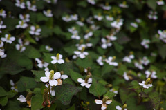 Houttuynia cordata (Matsudo, Chiba, Japan) (t-mizo) Tags: flowers plants plant flower japan sigma chiba    merrill foveon matsudo   houttuyniacordata  houttuynia dp2 spp saururaceae   sigmaphotopro fishmint fishwort    fishherb   dp2m dp2merrill
