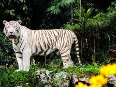 Tigre Branco (trane7x) Tags: fotografia animais photgraphy