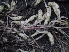 Tropaeolum tuberosum (xerantheum) Tags: garden berkeley tropaeolum tropaeolaceae tuberosum geophytes
