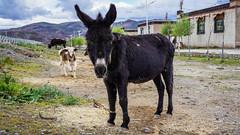 Тибетский ослик