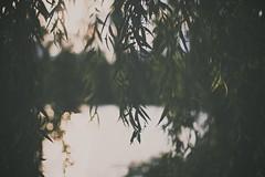 weeping willow sunset (Daniel Quarg) Tags: trip sunset summer blur green nature beautiful silhouette golden leaf colorful warm soft sonnenuntergang dof bokeh pastel warmth enjoy dreamy colourful grn lovely weepingwillow summernights warmlight warmtones bicycletrip trauerweide enjoyingthesunset