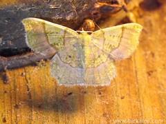Geometer Moth- possibly Idaea sp.  - Family Geometridae (Hickatee) Tags: forest insect rainforest belize wildlife moth culture lepidoptera toledo jungle geometridae puntagorda idaea nightflying hickatee hickateecottages hickateebelize hickateepuntagorda