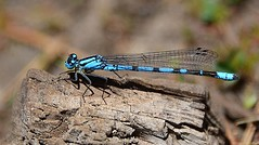 Northern Bluet / Boreal Bluet (birding4ever) Tags: 5 northernbluet enallagmaannexum borealbluet enallagmaboreale ourwonderfulandfragileworld dragonflygallery butterflydreams naturescarousel damniwishidtakenthat colorsoftheheart thesunshinegroup bestofdamniwishidtakenthat amazingimpressionsofnature sjohnsonsfaunahighqualityimages arborsquareanaturegroup dreamsilldream ngc naturesgoldencarousel naturesgallery naturespotofgoldlevel1 naturesprime worldnatureandwildlifegroup npc coth5 worldnatureandwildlifehalloffame worldnatureandwildlifeplatinumgroup powerofphotographylevel1 powerofphotographylevel2 naturesgarden thenaturessoul flowersorinsectsmacrosonly naturesgardenplatinum macroelitelevel2 thenaturessoulelite naturesspirit illuminationsinthewild everythinggoodinnature everythinggoodinnaturepremium