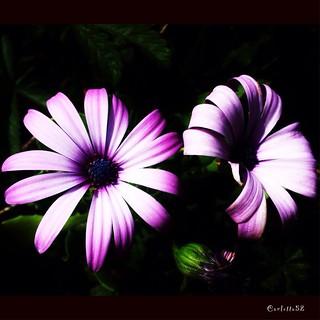 Fiori rosa...Pink flowers ...