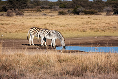 Khama_Rhino_Sactuary (174 von 394) (tosakan2000) Tags: urlaub afrika botswana arbeit