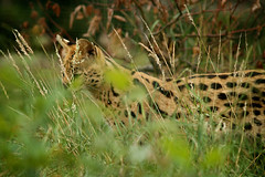 Hunting (Jchales.co.uk) Tags: cats green heritage grass cat kent big feline colours bokeh wildlife hunting foundation spots spotted catchy whf