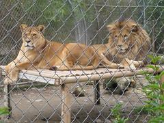 leones1