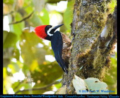 POWERFUL WOODPECKER MALE Campephilus pollens on a Trunk in the Tandayapa Valley of northwestern Ecuador. Photo by Peter Wendelken. (Neotropical Pete) Tags: ecuador woodpecker ngc campephilus picidae tandayapavalley ecuadorbirds southamericanbirds campephiluspollens powerfulwoodpecker andeanbirds peterwendelken neotropicalwoodpecker ecuadorwoodpeckers southamericanwoodpeckers valledetandayapa woodpeckerphotobypeterwendelken powerfulwoodpeckermale powerfulwoodpeckerinecuador carpinteropoderoso fotodecarpinteropoderoso