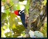 POWERFUL WOODPECKER MALE Campephilus pollens on a Trunk in the Tandayapa Valley of northwestern Ecuador. Photo by Peter Wendelken.