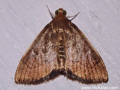 Unknown family - NMW 21 July 2014-217 (Dis da fi we) Tags: belize jungle moth puntagorda toledo wildlife nationalmothweek nationalmoth mothing cottages hickatee