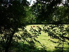Weide mit Kühen ohne HDR