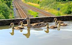 Keep paddling - man with camera -quack quack (delticfan) Tags: aqueduct edstoneaqueduct stratforduponavoncanal