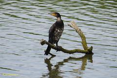 Cormorant (Kate M Gray) Tags: birds cormorant titchfieldhaven kategray panasonicgh3