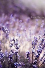 Valensole, FRANCE (Midotsuki) Tags: france flower beautiful field landscape photography photo nikon photographie indigo lavender sunflower provence paysage beau tournesol verdon d90