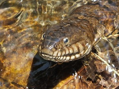 Northern Water Snake 1 (RonG58) Tags: pictures new trip travel light usa color nature water geotagged photography us photo spring day image photos reptile snake live wildlife maine picture images photograph monmouth digitalcamera alive exploration mizu photooftheday picoftheday nerodiasipedon northernwatersnake leau fugifilm elagua daswasser jugstream rong58 martinhoveymemorialdam finepixhs50exr