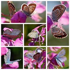 Papillons bleus .... (sosivov) Tags: blue summer macro rose butterfly sweden butterflies collection