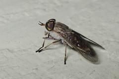 Unidentified Horse-fly (Misenus1) Tags: rhodeisland diptera flies tabanidae taxonomy:kingdom=animalia taxonomy:phylum=arthropoda taxonomy:class=insecta taxonomy:order=diptera taxonomy:family=tabanidae arthropoda insecta animalia scituateri