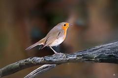 Roodborstje (Erithacus Rubecula) (mia_moreau) Tags: robin roodborstje vogel bird miamoreau zuidlimburg nederland rougegorge rotkehlchen