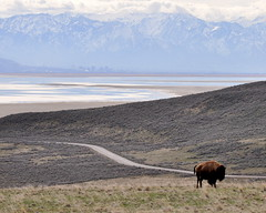 Bison by the Gravel Pit Trail with SLC in the background (Great Salt Lake Images) Tags: spring morning bison gravelpittrail antelopeisland greatsaltlake utah