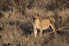 untitled-0306 (mayekarulhas) Tags: krugerpark mpumalanga southafrica za lion wild life