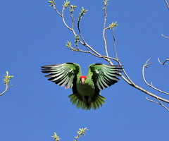 Parrot Wings (C-O) Tags: mar 19088 arboretum bird redcrowned parrot inflight green wings nature arcadia ca