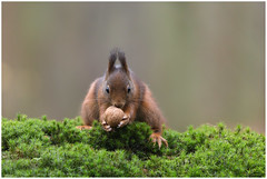 Red Squirrel - Eekhoorn (Sciurus vulgaris) ..... (Martha de Jong-Lantink) Tags: 2016 boshutclinge clinge eekhoorn gewoneeekhoorn redsquirrel rodeeekhoorn sciurusvulgaris stichtinghetzeeuwselandschap zeeland
