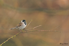 Bruant des roseaux Emberiza schoeniclus - Common Reed Bunting (Thierry Badan) Tags: oiseuxnaturesauvage bruant des roseaux emberiza schoeniclus common reed bunting