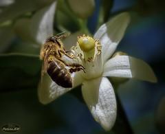 Abeja (PictureJem) Tags: naranjo abeja bees flower flor