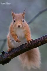 Red Squirrel (Karen Miller Photography) Tags: redsquirrel squirrel scotland highlands rodent lochaneilein carpark rothiemurchas nikon d610 tamron wildlife nature outdoors animal